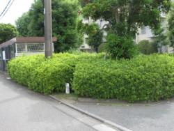 埼玉県川越市庭木剪定 サツキの剪定 作業前