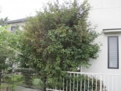 埼玉県坂戸市伐採工事 ザクロの木