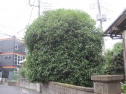 埼玉県さいたま市庭木剪定工事 キンモクセイの剪定