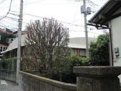 埼玉県さいたま市庭木剪定 キンモクセイの強剪定 作業後