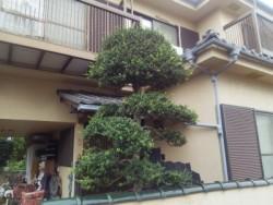 埼玉県富士見市庭木剪定工事 ツゲの剪定