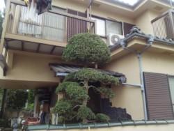埼玉県富士見市庭木剪定工事 ツゲの木の剪定 作業後