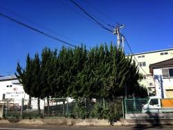 埼玉県東松山市庭木剪定工事 カイヅカの剪定