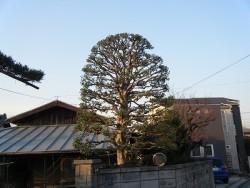 埼玉県志木市庭木剪定工事 ヤマモモの剪定 作業後