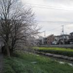川越新河岸川サクラ 植木屋 造園会社撮影写真