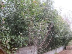 埼玉県東松山市庭木剪定工事 レッドロビンの生垣、強剪定