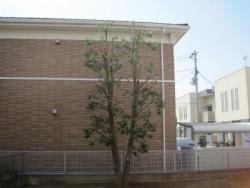 埼玉県坂戸市庭木剪定工事 アラカシの剪定 強剪定 作業後