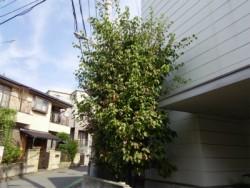 埼玉県志木市庭木剪定工事 ヤマボウシの剪定
