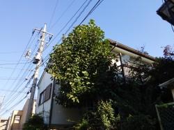 埼玉県富士見市伐採工事 柿の木の伐採 電線にかかりそう