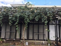 埼玉県富士見市キュウイの木の剪定