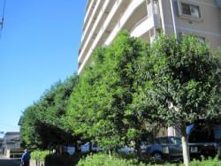 埼玉県ふじみ野市庭木剪定工事 カシの木の剪定